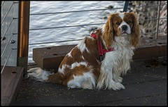 TOM waits for his Dad-1= (Sheba_Also 43,000 photos) Tags: tom king charles spaniel dog