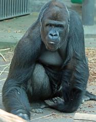 western lowlandgorilla Nasibu Blijdorp JN6A5988 (j.a.kok) Tags: gorilla westelijkelaaglandgorilla westernlowlandgorilla lowlandgorilla laaglandgorilla animal africa afrika aap ape nasibu mammal monkey mensaap zoogdier dier blijdorp