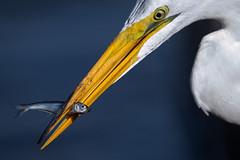Point of view (bodro) Tags: bolsachica bird birdphotography catch closeupbirdfeeding ecologicalreserve greategret shallows topsmelt wetlands