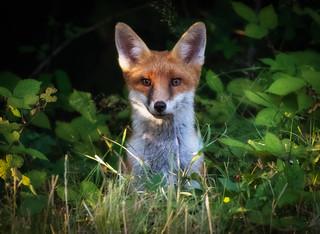 Foxy pose