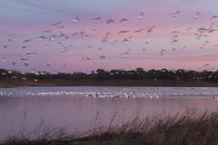 Dawn At Hagerman_MG_9979 (Alfred J. Lockwood Photography) Tags: alfredjlockwood nature dawn twilight morning hagermanwildliferefuge water reflection pond snowgeese snowgoose flight autumn texas blur