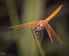 D75_3906 (@sumitdhuper) Tags: wallshare beauty dragonfly colors macro nature insect wildlife
