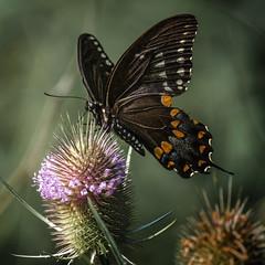 Non-Stop Flight (Portraying Life, LLC) Tags: dbg6 da3004 hd14tc k1mkii michigan pentax ricoh unitedstates butterfly closecrop handheld nativelighting teasel meadow bif