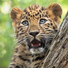 Wild Enthusiasm (Penny Hyde) Tags: amurleopard babyanimal bigcat cub leopard leopardcub sandiegozoo