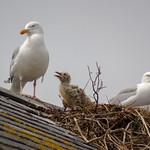 Herring-gull nest, 2018 Jun 08 -- photo 2 thumbnail