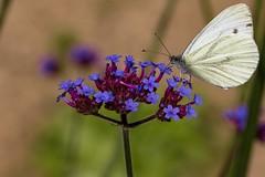 Gazé (Aporia crataegi) papillon (pj lens) Tags: gazé aporia crataegi papillon