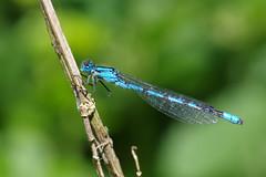IMGP2000c Common Blue Damselfly, Lackford Lakes, June 2018 (bobchappell55) Tags: lackfordlakes nature wild wildlife suffolk insect damselfly enallagma cyathigerum
