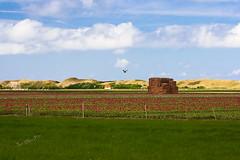 Tulip fields and the dunes near the Slufter - Texel 2017 (Wilma v H- Apologies running behind! Gardening!) Tags: tulips tulipfields bollenvelden texel decocksdorptexel sluftertexel waddeneilanden duinen dunes haystack birds tulpen grass noordholland wolkenluchten clouds skies agricultural rural outdoors 2017 canoneos60d canon100mm28f luminositymasks tkactionsv6panel holiday landscape farmland dutchlandscape nederland netherlands middeneierland