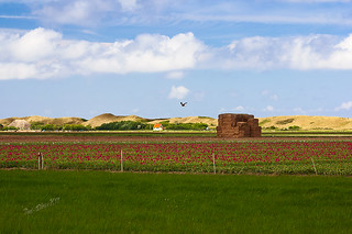 Tulip fields and the dunes near the Slufter - Texel 2017