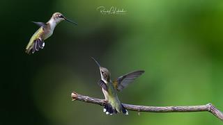 Ruby-throated hummingbird - Archilochus colubris | 2018 - 14