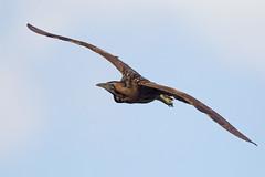 "Bittern (""Clare"") Tags: bittern bird nature wildlife botaurusstellaris"
