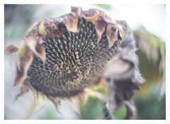 Death of a star (leo.roos) Tags: zonnebloem helianthusannuus sunflower hugomeyerkinonsuperiorif5cm meyerkinonsuperiori5016 projectorlens projectionlens focusinghelicoidtrioplan10028 exakta darosa leoroos faded wilted withered decay verval
