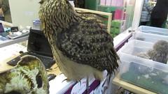 Bonnie and Anna (billnbenj) Tags: barrow cumbria video owl raptor birdofprey snowyowl eurasianeagleowl