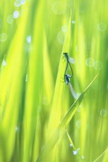 OMD09410 Rice Field