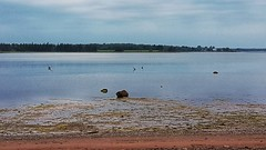 Day 1 - Herons Feeding at Low Tide (Bobcatnorth) Tags: princeedwardisland canada summer 2018 pei cycling bicycle touring bicycletouring camping sightseeing