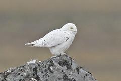 Snæugla-Snowy Owl-Bubo scandiacus (sigmundurasgeirsson) Tags: snæugla snowyowl buboscandiacus