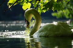 swan's dinner (a n t j e) Tags: schwan swan abendlicht
