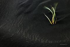 Alone (Piotr_ewaipiotr_pl) Tags: ifttt 500px wave pattern iceland beach grass black vulcanic nature photograph pics