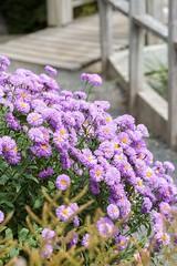 In the Garden (Karen_Chappell) Tags: purple pastel flower flowers floral nature graden botanicalgarden fleabane stjohns newfoundland nfld canada atlanticcanada avalonpeninsula eastcoast summer fence railing bridge green plant canonef100mmf28usmmacro
