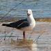 Chroicocephalus cirrocephalus (Grey-headed Gull)