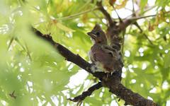 Juvenile Northern Cardinal (_BirdsTheWord_) Tags: nature ef100mm f28l canon 70d young birds baby cardinal backyard