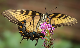Insect Beauty - the Tiger Swallowtail