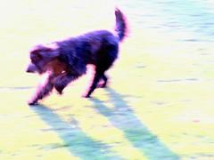 Benni in August (Bennilover) Tags: summer heatwave park running blur intentionalblur action icm benni dogs labradoodle 52weeksfordogs actionblur