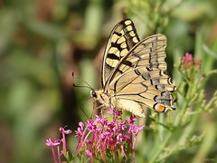 There's another one! (GéCau & Cie) Tags: gecau provence france butterfly machaon macron nature papillon