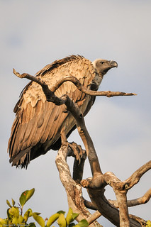 White-headed Vulture - Kenya