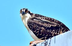Osprey (Natureholic001) Tags: osprey delaware capemaylewesferry birdsofnorthamerica natureholic