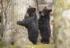 Black Bear Cubs (av8s) Tags: blackbear bear cub nature wildlife photography nikon d7100 sigma 120400mm pennsylvania pa
