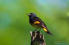American Redstart (Jamie Lenh Photography) Tags: nature wildlife birds warblers americanredstart nikond500 tamron150600 jamielenh