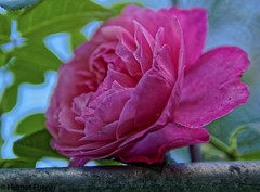 BS, Botanischer Garten (bleibend) Tags: 2018 em5 leicadgsummilux25mmf14 omd blumen botanischergarten braunschweig bs flower hübsch m43 mft natur nature niedersachsen olympus olympusem5 olympusomd