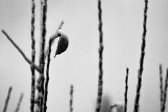 Waiting for the thaw (Anxious Silence) Tags: maidenhead garden blackandwhite snow winter tree branch silhouette