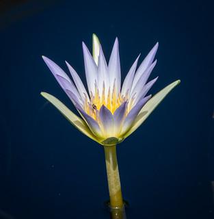 Portrait of a lily