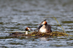 Great Crested Grebes (My Planet Experience) Tags: podicepscristatus greatcrestedgrebe grèbehuppé haubentaucher bird water baby chick young juvenile nest nesting food fish feeding couple dombes birdphotography wild wildlife wilderness animal nature natural nopeople day color outdoors france myplanetexperience wwwmyplanetexperiencecom specanimal