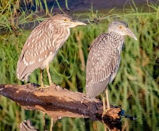 Juvenile Night Heron Comparison