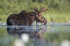 Fueled by Flowers (DTT67) Tags: moose bullmoose mammal animal wildl nature naturephotography 1dxmkii canon nationalgeographic lake northwoods