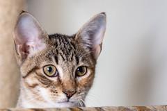 javacatscafe12Aug20180339.jpg (fredstrobel) Tags: javacafecats javacatscafe pets atlanta animals usa cats places ga georgia unitedstates us