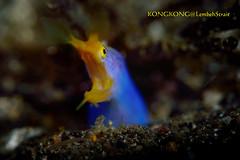 Bla Bla Bla... (kayak_no1) Tags: nikon d800e nauticamhousing 105mmvr diopter ysd1 subsee10 underwater underwaterphotography macro supermacro diving scubadiving uw lembehstrait indonesia ribboneel blueribboneel