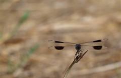 Brachythemis impartita (M) (J Carrasco (mundele)) Tags: coria extremadura insectos odonatos anisoptera libellulidae brachythemis