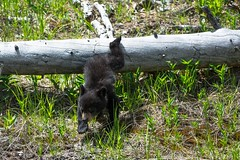 Like falling off a log (ChicagoBob46) Tags: blackbear cub bear yellowstone yellowstonenationalpark nature wildlife ngc coth5 npc