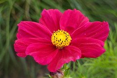 Cosmos on the Terrace (Dave Roberts3) Tags: cosmos pink yellow park bellevue newport wales gwent