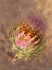 Artichoke Head (Carol Curd) Tags: multipleexposure thistle artichoke
