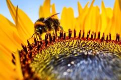 🐝🐝🐝 (shidoxy) Tags: august garten niedersachse benthe hannover makro macro sunflower sonnenblume bumblebee hummel summer d5300 nikon