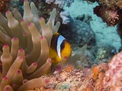 P1-008664 (charlesvanlangeveld) Tags: redseaanemonefish twobandedanemonefish redsea marsaalam egypt portghalib underwater scuba fish portraits diving ibdopacific