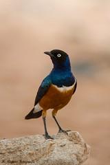 Driekleurige Glansspreeuw - Superb Starling - Lamprotornis Superbus (H.Rigters) Tags: kenia driekleurigeglansspreeuw spreeuw starling superbstarling vogel bird nikond600 nikkor300mmf4 hennyr 2018