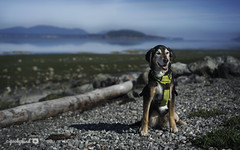 7/12B Jasper - beautiful morning (yookyland) Tags: 12 months for dogs 2018 jasper 712 dog beach morning low tide sanjuanislands