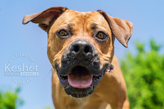 Picture of the Day (Keshet Kennels & Rescue) Tags: rescue kennel kennels adoption dog ottawa ontario canada keshet large breed dogs animal animals pet pets field tree forest nature photography mastiff lab closeup gaze wide angle
