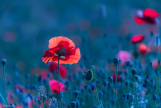 Poppies in blue ...